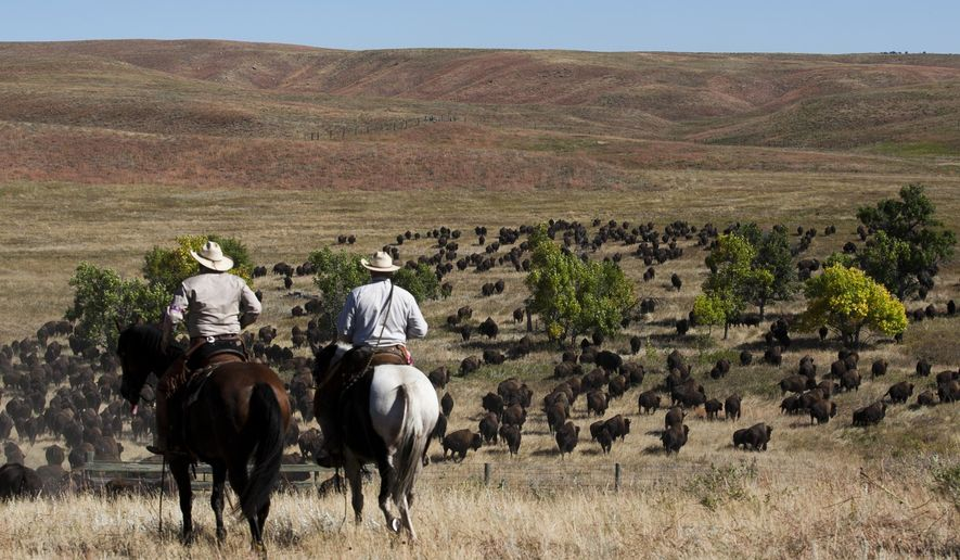 Riders watch as the buffalo herd moved into a small valley between viewing areas  Friday morning, Sept. 25, 2015,  during the 50th Buffalo Roundup at the Custer State Park in Custer, S.D.  (Sean Ryan/Rapid City Journal via AP) TV OUT; MANDATORY CREDIT