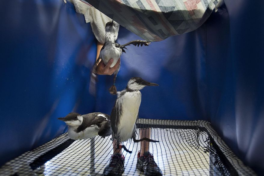 In this photo taken Thursday, Sept. 24, 2015, intern Julie Wheeler places a common murre into a forced-air drier after an exam at the International Bird Rescue facility in Cordelia, Calif. Across Northern California, malnourished seabirds have been appearing in alarming numbers, some shrunken to little more than feather and bone. Many of the thin-billed species are being brought into the International Bird Rescue Center, which says it is taking in the birds at the highest rates in 18 years.  (Randall Benton/The Sacramento Bee via AP)