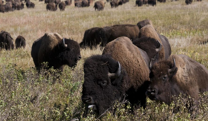 Buffalo turn around after being herded into the draw between the north and south viewing area Friday morning  Friday morning, Sept. 25, 2015,  during the 50th Buffalo Roundup at the Custer State Park in Custer, S.D.  (Sean Ryan/Rapid City Journal via AP) TV OUT; MANDATORY CREDIT