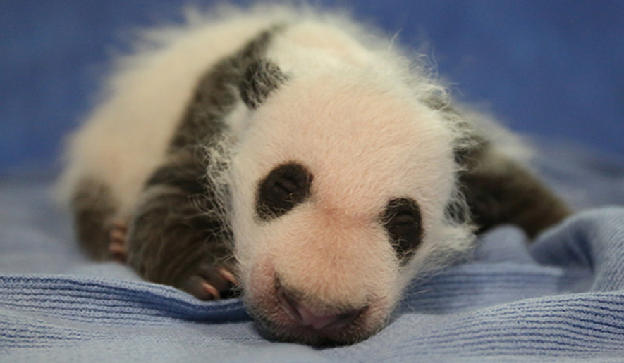 Bei Bei, the baby panda at the National Zoo. (Image: http://nationalzoo.si.edu/Animals/GiantPandas/)