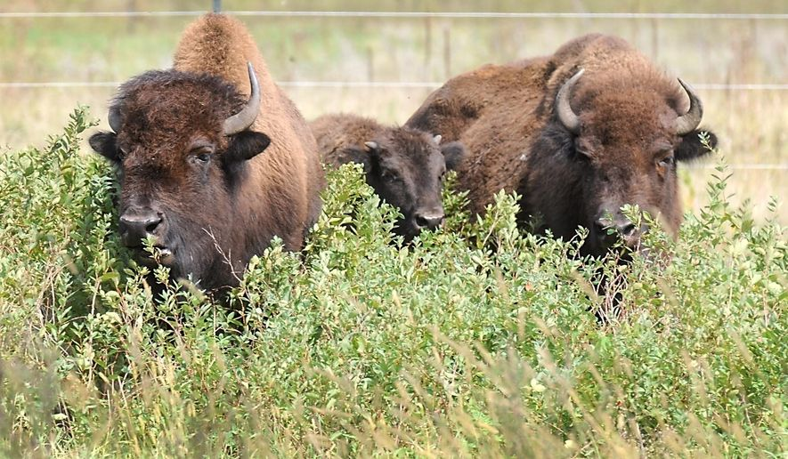 Three of a herd of 11 bison stand in tall grass in an enclosure Friday, Sept. 25, 2015, in Minneopa State Park near Mankato, Minn. Eleven genetically rare bison were released into the park as part of the newest efforts by the Department of Natural Resources and Minnesota Zoological Gardens (Minnesota Zoo) to expand the Minnesota Conservation Bison Herd. (AP Photo/Mankato Free Press, Pat Christman)