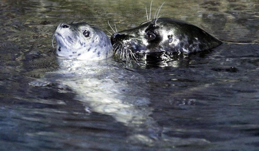 In this Dec. 14, 2011 photo, Riley, a four-day-old harbor seal pup, swims close to its mother Presley in the North Pacific seal exhibit in the Moody Gardens Aquarium Pyramid in Galveston, Texas.  Experts say the female harbor seal named Presley has died at Moody Gardens in Galveston. The Galveston County Daily News reported Saturday, Sept. 26, 2015,  Presley, one of two harbor seals at the aquarium, apparently had stomach trouble. Moody Gardens spokesman Greg Whittaker says 10-year-old Presley was unexpectedly found dead last week in the exhibit.  (Kevin M. Cox/The Galveston County Daily News via AP) MANDATORY CREDIT