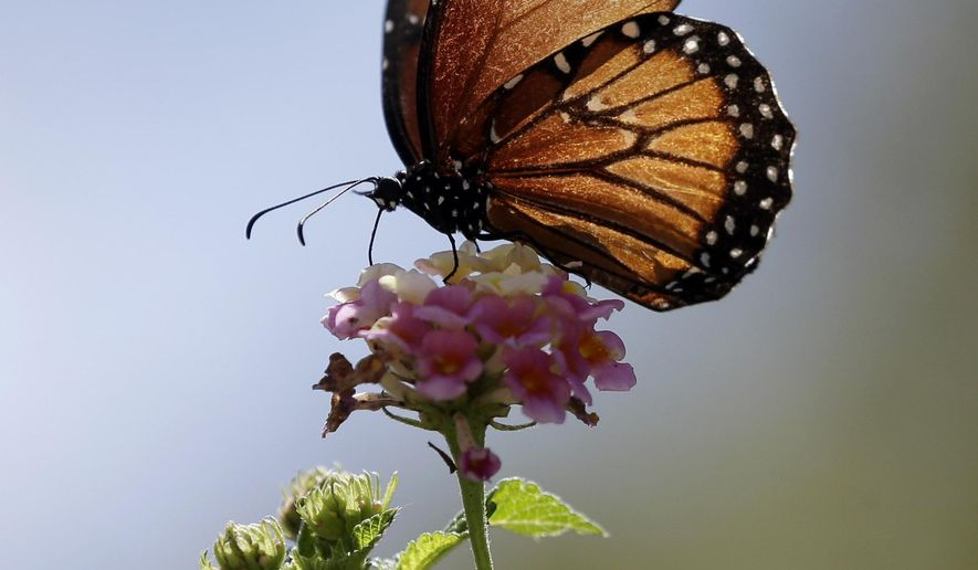 FILE - In this Sept. 20, 2015 file photo, a monarch butterfly lands on a flower in San Antonio, Texas. A consortium that includes agribusiness Monsanto and a national wildlife group announced Monday, Sept. 28, 2015, $3.3 million in grants are being doled out as part of an initial bid to stem the worrisome decline of monarch butterflies. (AP Photo/Eric Gay, File)