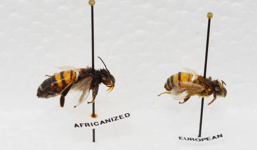 This image taken in September 2015 and released by Kathy Keatley Garvey of the UC Davis Department of Entomology and Nematology, shows both Africanized, left, and European bees in Vacaville, Calif. Africanized honeybees, known as killer bees because of their swarming, aggressive and deadly nature when a colony is threatened, have made their way to the San Francisco Bay Area for the first time, researchers say. (Kathy Keatley Garvey/UC Davis via AP)