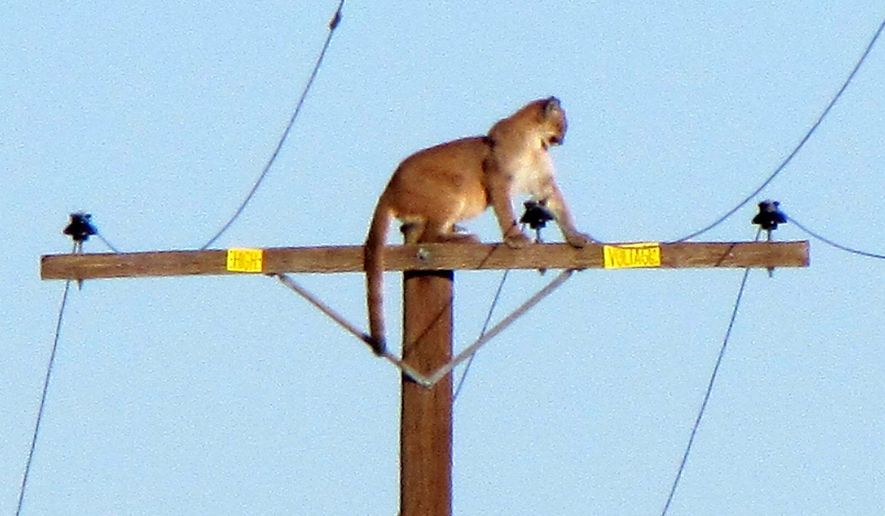 In this Tuesday, Sept. 29, 2015, photo, a mountain lion stands on a power pole in Lucerne Valley, Calif. The cougar stayed atop the pole all afternoon Tuesday, but was gone by Wednesday morning according to the The Victor Valley Daily Press. (Peter Day/The Victor Valley Daily Press via AP) MANDATORY CREDIT