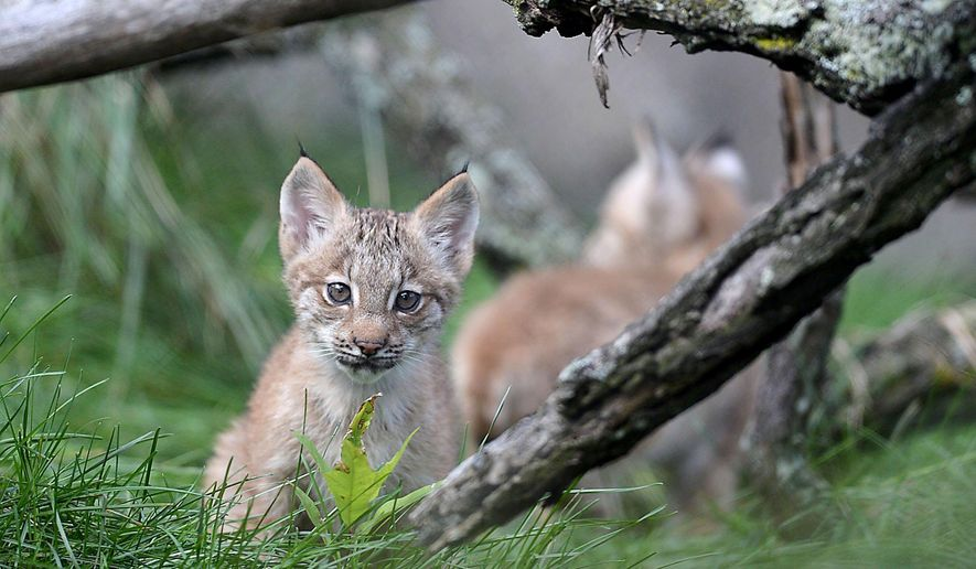 A lynx kitten plays in its enclosure on the first day the kittens were outside of their enclosed den and available for the public to see, Thursday, Oct. 1, 2015, at the Erie Zoo, in Erie, Pa. Three kittens were born June 30, 2015 to mother Martina and father Russell, who will be introduced to the kittens in about a month, according to Scott Mitchell, executive director of the Erie Zoo.  (Christopher Millette /Erie Times-News via AP)  MANDATORY CREDIT; MAGS OUT