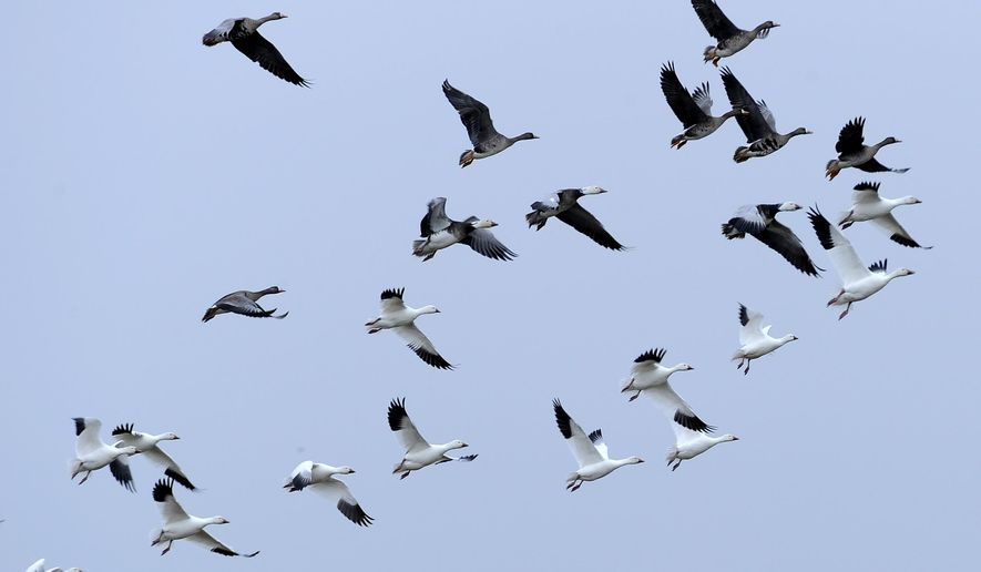 FILE - In this Wednesday, Feb. 15, 2012, file photo, migratory birds fly over Mad Island, Texas. Energy companies blamed for the deaths of migratory birds may be harder to prosecute under a century-old law that a federal court in September 2015 ruled applies only to intentional killings. (AP Photo/Pat Sullivan, File)