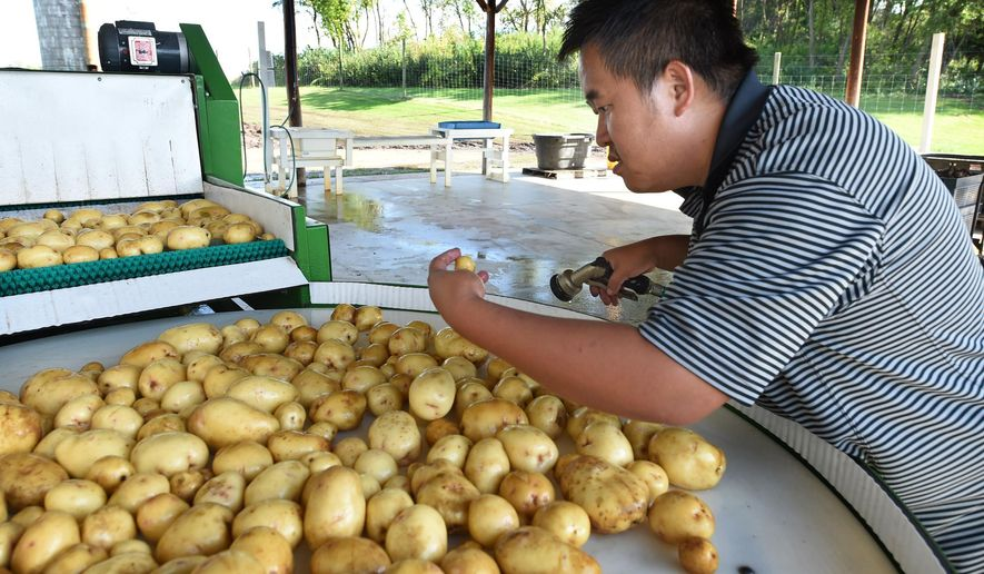 ADVANCE FOR USE SATURDAY, OCT. 10 - In this photo taken Friday, Sept. 25, 2015, Teng Thao, of St. Paul, Minn., checks the quality of a little potato as he washes them on a farm south of Hastings, Minn. The farm is owned by the Hmong American Farmers Association, which has helped the Thaos broker deals to sell their vegetables to grocery chains such as Lunds & Byerlys and Mississippi Market. (Jean Pieri/Pioneer Press via AP)  MINNEAPOLIS STAR TRIBUNE OUT; MANDATORY CREDIT
