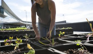 "In this photo provided by JetBlue, farmer Katrina Ceguera works at a 24,000 square-foot ""farm"" outside Terminal 5 at John F. Kennedy International Airport in New York. The space is meant to educate travelers more than actually feed them, although eventually JetBlue would like to serve items grown there in terminal restaurants and even make some blue potato Terra Chips that are served on flights. (Jetblue via AP)"