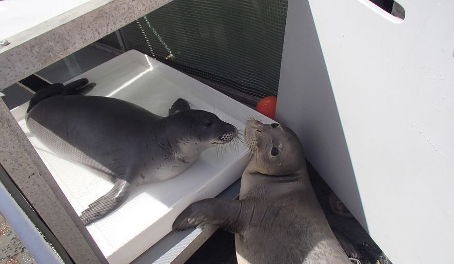 In this Sept. 27, 2015 photo provided by the National Oceanic and Atmospheric Administration, two endangered Hawaiian monk seals await medical treatment in the Northwestern Hawaiian Islands. The endangered Hawaiian monk seal is making a strong comeback in the uninhabited Northwestern Hawaiian Islands, researchers say. Scientists documented 148 monk seal pups births in the island chain this year, an increase of 22 percent over 2014, according to statement released by the National Oceanic and Atmospheric Administration on Wednesday, Oct. 7. (Hope Ronco/NOAA via AP)