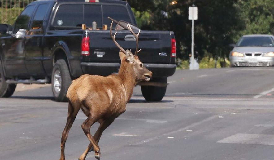 An Elk runs through the streets of Waco, Texas, Wednesday, Oct. 7, 2015, while fleeing local law enforcement agencies. The bull elk spent the morning running from officials along railroad tracks that run through the center of Waco before it was finally darted and tranquilized and released in a nearby county. (Rod Aydelotte/Waco Tribune Herald via AP)