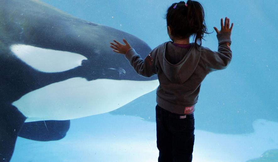 FILE  - In this Nov. 30, 2006, file photo, a young girl watches through the glass as a killer whale passes by while swimming in a display tank at SeaWorld, in San Diego. SeaWorld wants to greatly expand the tanks it uses to hold killer whales in San Diego but animal rights activists are opposed, saying breeding the animals in captivity is cruel no matter the size of the tanks. A state agency is expected to consider Thursday, Oct. 8, 2015, how much regulators should weigh in on the $100 million proposal for the marine-theme park. (AP Photo/Chris Park, File)