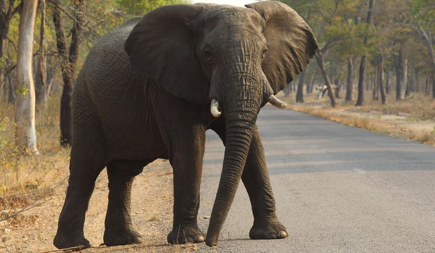 In this Thursday, Oct. 1, 2015 photo, an elephant crosses a road in Hwange National Park, Zimbabwe, about 700 kilometres south west of Harare. Cancer is much less common in elephants than in humans, even though the big beasts' bodies have many more cells. That's a paradox known among scientists, and now researchers think they may have an explanation. In results published Thursday, Oct. 8, 2015 in the Journal of the American Medical Association, compared with other species, elephants' cells contain many more copies of a major cancer-suppressing gene that helps damaged cells repair themselves or self-destruct when exposed to cancer-causing substances. (AP Photo/Tsvangirayi Mukwazhi)