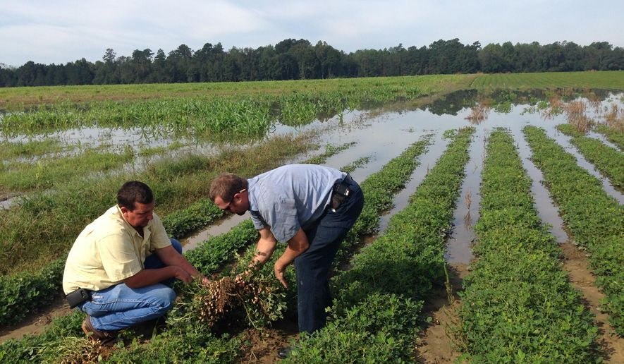 Thad Wimberly, left, and Jonathan Berry inspect the damage to a field of peanuts following record rainfall and flooding in Branchville, SC., Friday, Oct. 9, 2015. Wimberly, co-owner of Wimco Farms in Branchville, said he expects to lose 75 percent of his crop. (AP Photo/Adam Beam)