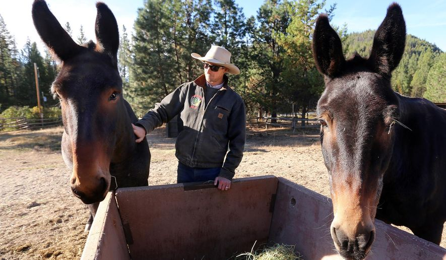 ADVANCE FOR WEEKEND EDITIONS, OCT. 10-11 - In this photo taken Sept. 27, 2015, Bitterroot National Forest packer Karl Crittenden says good morning to two of his new mules Bitterroot National Forest near Darby, Mont. Crittenden started his new job in July. (Perry Backus/Ravalli Republic via AP) MANDATORY CREDIT