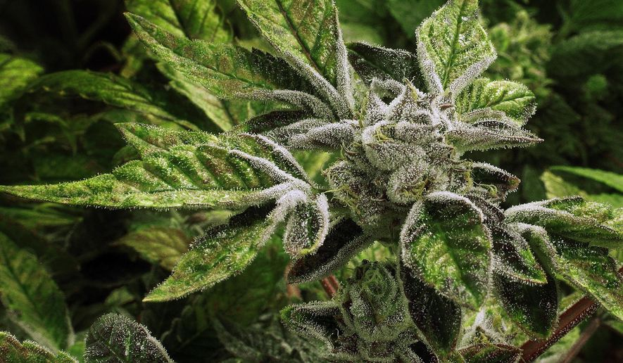 """In this Sept. 15, 2015, file photo, marijuana plants with their buds covered in white crystals called trichomes, are nearly ready for harvest in the """"Flower Room"""" at the Ataraxia medical marijuana cultivation center in Albion, Ill. (AP Photo/Seth Perlman, File)"""