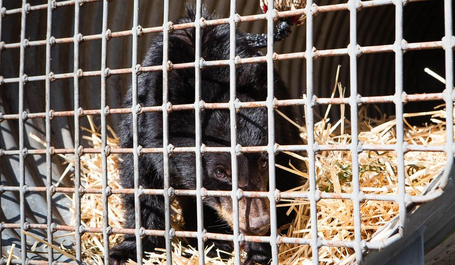 In this Oct. 20, 2015 photo, a bear cub, who was found wandering near the Bear River near Chinook, Wash., sits in a trap, to give his mother one last chance to find him. He has been taken to a wildlife rehabilitation facility by the Washington Department of Fish and Wildlife after being discovered by the Hazen family, which fed him apple slices.  (Natalie St. John/The Chinook Observer via AP) MANDATORY CREDIT