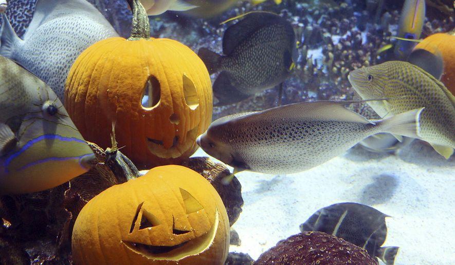 In this photo released by New England Aquarium, fish swim around carved pumpkins among coral reefs in the aquarium's 225,000-gallon ocean tank Friday, Oct. 30, 2015, in Boston. (New England Aquarium via AP)