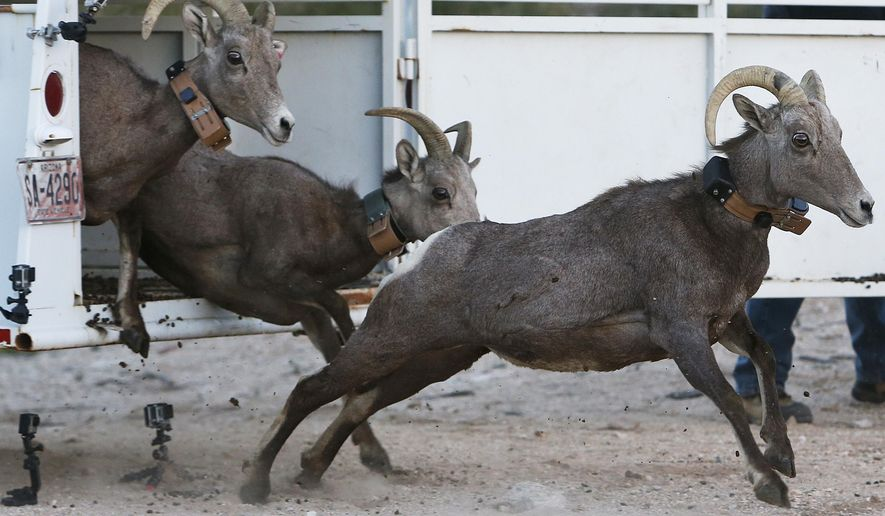 In this Nov. 20, 2014, photo, three bighorn sheep race out of the gate into the Santa Catalina mountains, near Pima Canyon in Tucson, Ariz. About 30 bighorn sheep in Yuma will be relocated in an effort to rebuild the herd of bighorn sheep that vanished from the range north of Tucson. (Mike Christy/Arizona Daily Star via AP)  ALL LOCAL TELEVISION OUT; PAC-12 OUT; MANDATORY CREDIT; GREEN VALLEY NEWS OUT; MANDATORY CREDIT