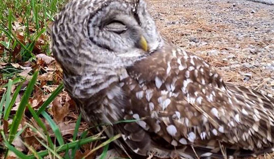 A Saturday, Oct. 31, 2015 photo provided by the Midland, Mich., Police Department shows an injured owl on the side of the road in Midland, Mich. after it hit the window of a vehicle. The owl suffered a concussion but no fractures in the incident. Officers from the Midland Police Department and two citizens took the owl to the Wildlife Recovery Association in Shepherd, where it is recovering. (Officer Jeffery Krauss/Midland Police Department via AP)
