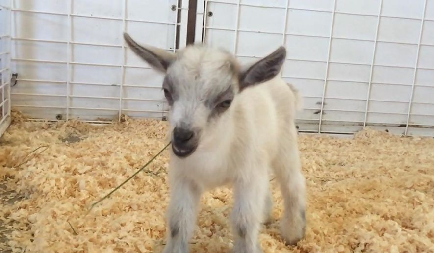 GusGus, a baby goat, is seen at the Arizona State Fair in Phoenix in this October 2015 photo provided by Emilie Owen. Fair officials say GusGus was taken from the petting zoo at the fair Wednesday, Nov. 4, 2015,  leaving his mother without her kid. (AP photo/Courtesy of Emilie Owen)