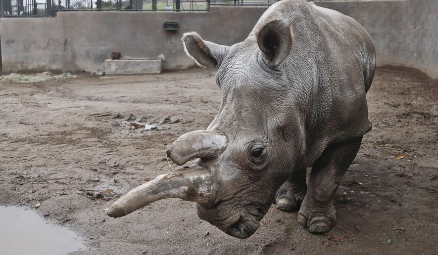 In this Dec. 31, 2014, file photo, Nola, a 40-year-old northern white rhino who is only one of five remaining of the species, wanders around her enclosure at the San Diego Zoo Safari Park on a cold winter day in Escondido, Calif. Six female southern white rhinos arrived on a chartered MD11 flight from South Africa landed at the San Diego International Airport on Thursday, Nov. 5, 2015.  San Diego Zoo Global has one of the most successful rhino breeding programs in the world. To date, a total of 94 southern white rhinos, 68 greater one-horned rhinos and 14 black rhinos have been born at the San Diego Zoo Safari Park. (AP Photo/Lenny Ignelzi, File)