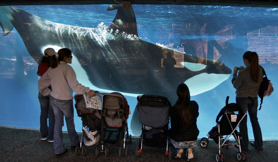 FILE - In this Nov. 30, 2006, file photo, people watch through the glass as a killer whale passes by while swimming in a display tank at SeaWorld in San Diego. Rep. Adam Schiff (D-CA) announced Friday, Nov. 6, 2015, plans to introduce the Orca Responsibility and Care Advancement Act, a proposed federal legislation that aims to phase out the captivity of killer whales by banning breeding, importing and exporting the animals for public display to ensure that orcas now at aquatic parks such as SeaWorld are the last ones and that when they die, none will replace them. The bill also would ban taking any whales from the wild. (AP Photo/Chris Park, File)