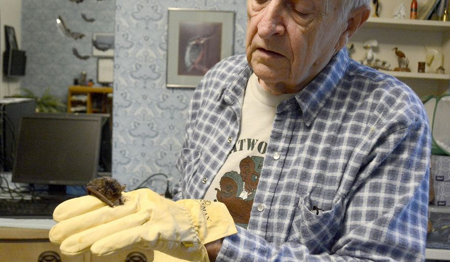 In a Thursday, Nov. 5, 2015 photo, a young silver-haired bat rests on Bob Walton's hand at his home in Fort Wayne, Ind. Walton, who is known for his work rehabbing raptors, has been rehabbing bats as well.  (Ellie Bogue/News-Sentinel via AP)