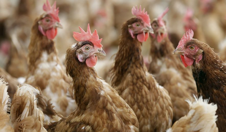 Cage-free chickens stand in a fenced pasture on the Francis Blake organic farm, Wednesday, Oct. 21, 2015, near Waukon, Iowa. (Associated Press) **FILE**