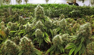 In this Sept. 15, 2015, file photo, marijuana plants are seen nearly ready for harvest at the Ataraxia medical marijuana cultivation center in Albion, Ill. (AP Photo/Seth Perlman, File)