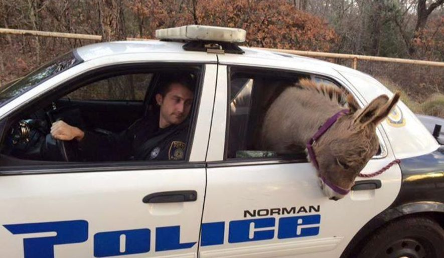 In this photo provided by the Norman, Okla., Police Department, a donkey pokes out of the back of a police vehicle in Norman, Okla., Tuesday, Dec. 1, 2015. Officer Kyle Canaan, in the driver's seat, responded to a call of a donkey on the loose and he transported it to a nearby home. (Robin Strader/Norman Police Department via AP)