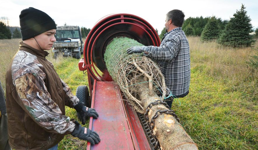 In this photo taken, Nov. 17, 2015, Austin Schlaak, left, and Stuart Rogers, both of Rapid City, wrap a tree at Messiah's Tree Farm in Bellaire, Mich. A chain pulls the tree trunk through a ring that squeezes the branches as twine is automatically wrapped around them. (Dan Nielsen/Traverse City Record-Eagle via AP) MANDATORY CREDIT