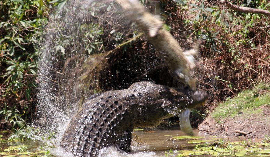 In this Oct. 26, 2015 phoyo, a large crocodile flings a smaller crocodile through the air before eating it at Catfish Waterhole in the Rinyirru National Park in Australia's Queensland state. Tourist Sandra Bell was poised to photograph a sedate scene of two crocodiles sunning themselves at the edge of an Australian waterhole when the picture unexpectedly exploded into violence. (Sandra Bell via AP) EDITORIAL USE ONLY, NO SALES, MANDATORY CREDIT