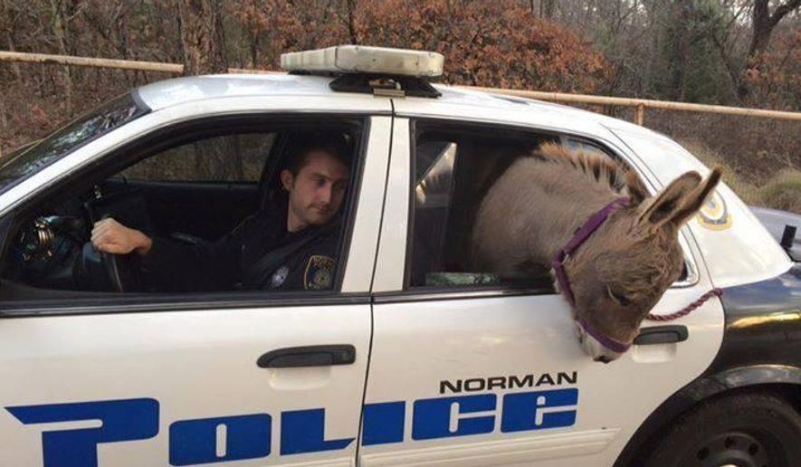 FILE - In this Tuesday, Dec. 1, 2015 photo provided by the Norman, Okla., Police Department, a donkey sits in the passenger section of a police car in Norman, Okla. Officer Kyle Canaan, left, responded to a call of the donkey on the loose and he transported it to a nearby home for safe keeping. The donkey has been reunited with his owner, a chiropractor in Norman. (Norman Police Department via AP, File)