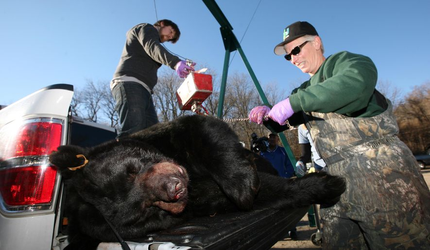 Kim Tinnes, wildlife service technician, right, takes measurements of a 658.5 pound black bear at the Whittingham Wildlife Management Area bear check-in station during the first day of the annual black bear hunt in Fredon Township, N,J., Monday, Dec. 7, 2015. (Daniel Freel/The New Jersey Herald via AP) MANDATORY CREDIT