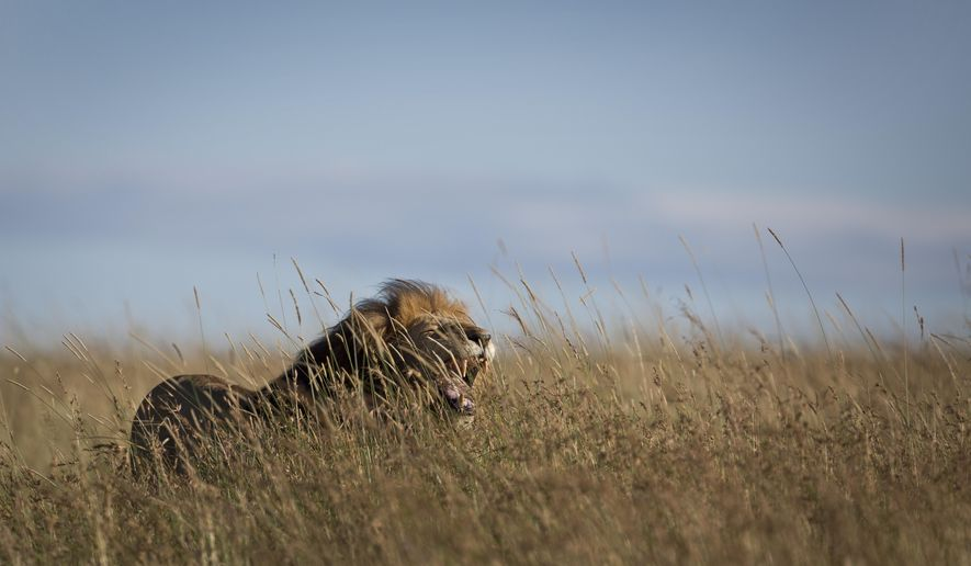 In this Tuesday, July 7, 2015, file photo, an old male lion yawns in the long grass in the early morning, in the savannah of the Maasai Mara, south-western Kenya. (AP Photo/Ben Curtis, File)