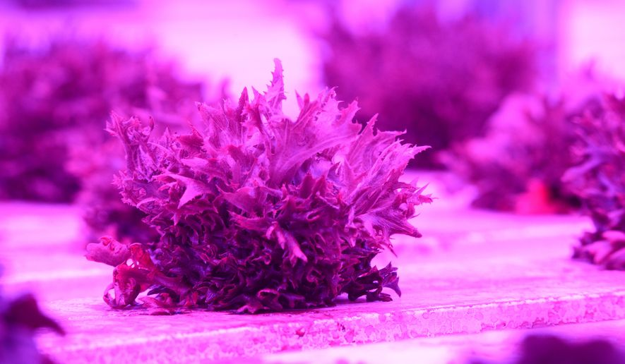 CORRECTS TRANS REF NUMBER TO AKAND301 - ADVANCE FOR THE WEEKEND OF DEC. 12-13 AND THEREAFTER - In a Friday, Dec. 4, 2015 photo, lettuce grows under red and blue lights at Alaska Natural Organics in the Old Matanuska Maid building on Northern Lights Blvd. in Anchorage, Ak. The company recently delivered hydroponic grown basil, it's first sale, to Carrs Safeway and New Sagaya stores. (Bob Hallinen/Alaska Dispatch News via AP)