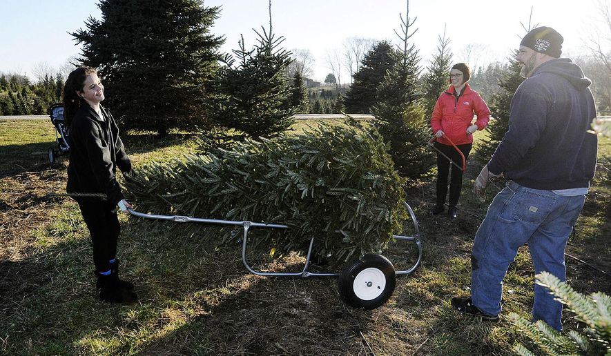 In this photo taken, Saturday, Dec. 5, 2015, Nicole Gilland, 12, hauls the family Christmas tree back to the barn with her dad Doug Gilland and Jennifer Adams during a trip to Millbrook Tree farm in Yorktown, Ind. Indiana holiday shoppers say real Christmas trees still have big appeal. (Don Knight/The Herald-Bulletin via AP) MANDATORY CREDIT