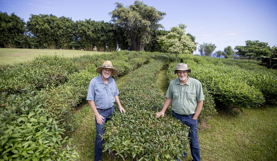 ADVANCE FOR WEEKEND EDITIONS DEC 12-13 - In this Dec. 4, 2015 photo, Rob Nunally, left, and Mike Longo pose for photos in rows of tea plants on their Onomea Tea Company farm in Papaikou, Hawaii. Tea, the second most popular beverage in the world after water, is a showcase for the possibility contained in the shiny, serrated leaves of Camellia sinensis, part of the evergreen tree family. White tea, black tea, green tea, oolong tea: it all comes from the same source. (Hollyn Johnson/Hawaii Tribune-Herald via AP) MANDATORY CREDIT MANDATORY CREDIT