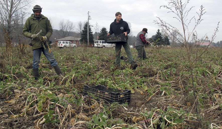 In this Dec. 10, 2015 photo, Marcus  King, left, Evan Harlow, center, and Colt Clary harvest rutabagas at Harlow Farm in Westminster, Vt. Northeast growers are anxious to learn what new federal food safety rules mean for them following outbreaks around the country of deadly food-borne illnesses linked to cantaloupes and fresh spinach in the last 10 years. The FDA is meeting with New England growers to discuss the rules on Monday, Dec. 14, 2015, in Brattleboro, Vt. (AP Photo/Wilson Ring)
