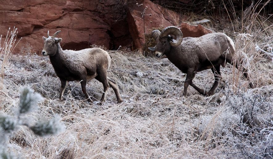 Bighorn sheep walk down a frosted hillside Tuesday morning, Dec. 15, 2015,  near U.S. Highway 44, in Rapid City, S.D.  (Josh Morgan /Rapid City Journal via AP) TV OUT; MANDATORY CREDIT