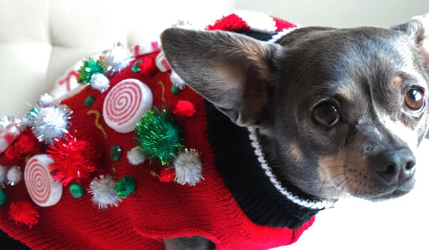This 2014 photo provided by Aimee Beltran shows her Chihuahua Chuy decked out in an ugly Christmas sweater at her home in Virginia Beach, Va.   (Aimee Beltran via AP) **FILE**