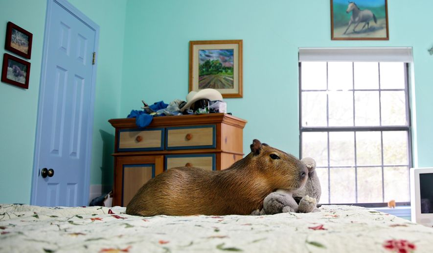 In this photo taken on Nov. 13, 2015, Mudskipper cuddles with her toy bear in a bedroom of her owner's home in Buda, Texas. Mudskipper is a female capybara that belongs to Melanie Typaldos, (Shelby Tauber/AUSTIN CHRONICLE OUT, COMMUNITY IMPACT OUT, INTERNET AND TV MUST CREDIT PHOTOGRAPHER AND STATESMAN.COM, MAGS OUT; MANDATORY CREDIT