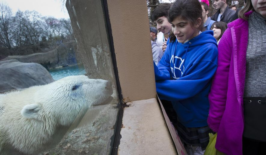Students from Armenian Sisters Academy in Radnor, Pa., visit Coldilocks, a polar bear at the Philadelphia Zoo who turned 35 years old Wednesday, Dec. 16, 2015. She was given two pumpkins with peanuts and an ice cake with raisins, peanut butter and trail mix. (Alejandro A. Alvarez/The Philadelphia Inquirer via AP)