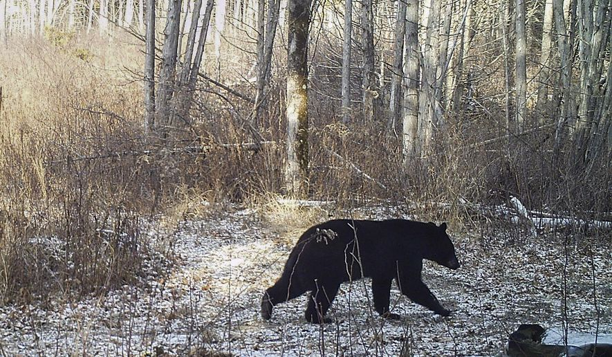 This Nov. 30, 2015 photo provided by Norm and Kristina Senna shows a black bear on a trail in Georgia, Vt. The lack of snow is contributing to delayed hibernation for some black bears and making snowshoe hares conspicuous to predators. Access to food is keeping some out of their winter dens and has prompted officials in Vermont and Massachusetts to urge residents to wait for snow before putting up bird feeders to avoid attracting bears. (Norm and Kristina Senna via AP)