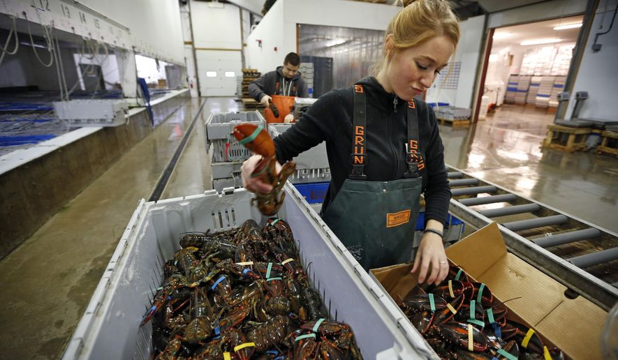 In this Thursday, Dec. 10, 2015, photo, Jamie Lane packs live lobsters for overseas shipment at the Maine Lobster Outlet in York, Maine. Lobsters are a Christmas tradition in several European countries, where supermarkets rely on the crustaceans to draw shoppers around the holidays. (AP Photo/Robert F. Bukaty)