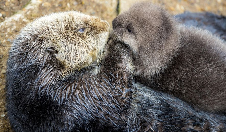 In this Dec. 20, 2015 photo released by the Monterey Bay Aquarium, a Sea Otter holds its newborn pup in Monterey Bay Aquarium Tide Pool in Monterey, Calif. The aquarium posted news of the birth online this weekend, along with adorable photos of the fuzzy brown pup playing with mom. (Tyson V. Rininger/Monterey Bay Aquarium via AP)