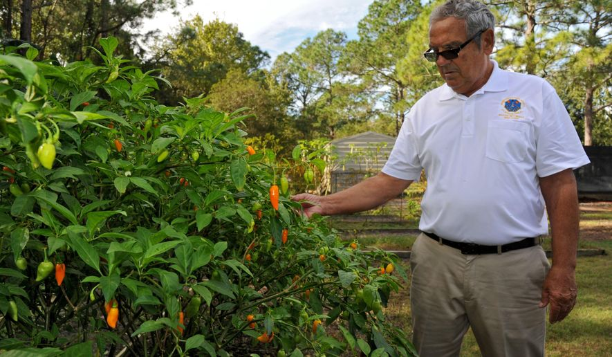 ADVANCED FOR RELEASE FRIDAY, DECEMBER 25, 2015 Mike Usina shows off his crop of Datil peppers that he and his wife Theresa grow in their backyard. Usina is a Minorcan cast net maker and cultural advocate from St. Augustine, FL. He's one of five master folk artists just named to be masters in the Florida Folklife Apprenticeship Program. On Thursday Dec. 3, 2015 Usina demonstrated how he makes his nets and what the finished product looks like. (Bob Mack/The Florida Times-Union via AP)