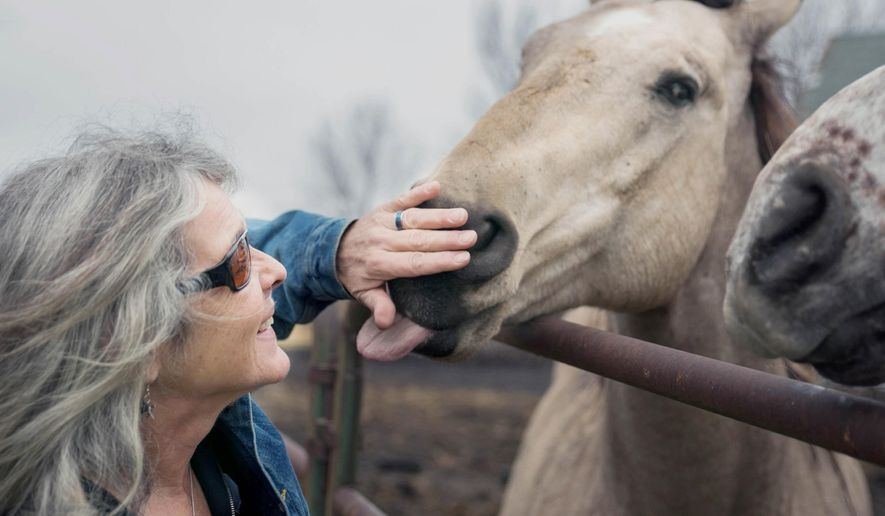 ADVANCE FOR RELEASE FRIDAY, DEC. 25, 2015, AT 12:01 A.M. CST. AND THEREAFTER - In this December 2015 photo, owner Jody Thisted is greeted with a nudge and a lick after feeding treats to a couple of the horses sheltered at the Misfit Acres Horse Sanctuary in Amboy, Minn. It is a refuge for misfit horses -- big, beautiful creatures no longer wanted or needed. (Trevor Cokley/The Free Press via AP) MANDATORY CREDIT