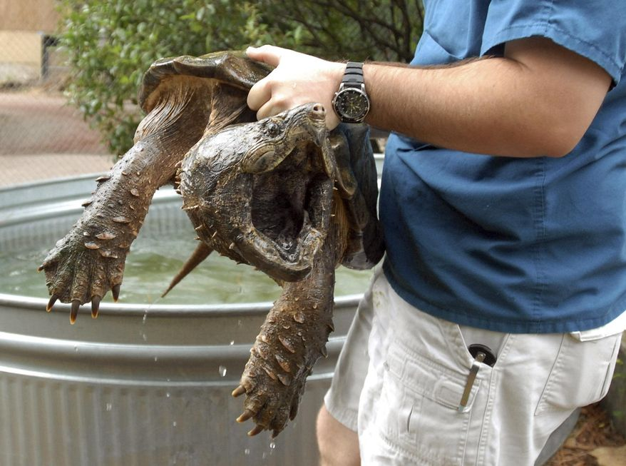FILE - In this Wednesday, July 9, 2007, file photo, a zookeeper carries a 55-pound alligator snapping turtle for transport from the zoo in Birmingham, Ala. to the Warrior River. The turtle was released back to the wild after being treated and having a fishing hook removed from its throat. An environmental group says it will sue unless the federal government sets a deadline for deciding whether to protect alligator snapping turtles under the Endangered Species Act. (Joe Songer/AL.com via AP, File) MAGS OUT; MANDATORY CREDIT